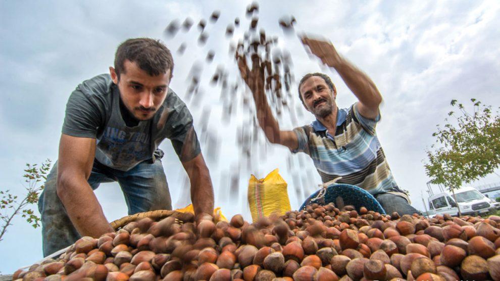 Fındık Üretimi, İklim Krizinden Derinden Etkileniyor
